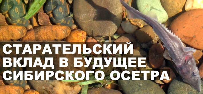 Cтарательский вклад в будущее сибирского осетра